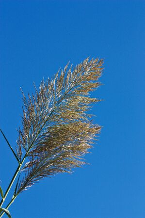 End of one of the reeds where the flowers are forming a large panicle of spikelets with the blue background of the clear sky and space for text, copy space
