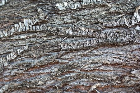 Close-up of the gray and cracked bark of an old almond tree.