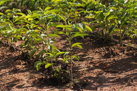 Field of a nursery with seedlings of young persimmon trees growing for later sale in winter to farmers