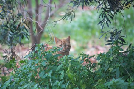 A feral cat of golden or orange color looks afar through the undergrowth and crop trees