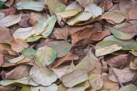 Autumnal background from the fallen leaves of the trees in autumn. Persimmon leaves in winter