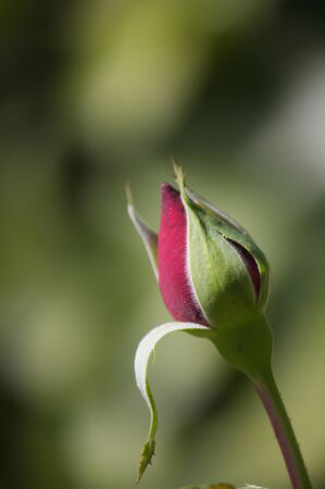 Close-up of a rose bud with the flower tightly closed and with a blurred green background (bokeh) and space to add text or graphics (copy space)