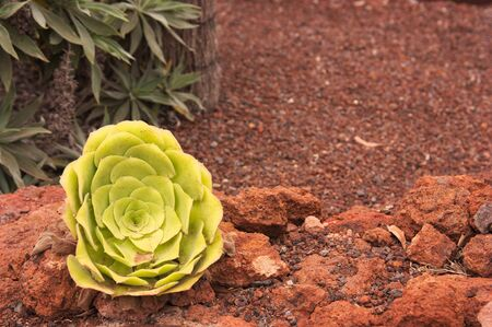 A detail of a bejeque rosette (Aeonium canariense), this is a species of plant belonging to the family Crassulaceae. It is mostly in La Gomera, in the Canary Islands