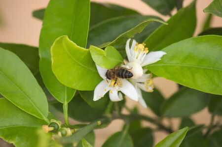 Flowering orange tree branch in which there is a bee collecting pollen Фото со стока