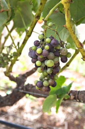 Close-up of a wine grape cluster with grape grains of different colors and ripening stages before it is harvested