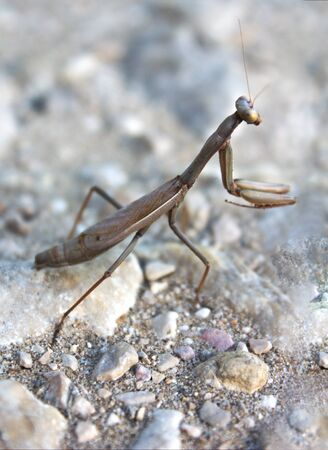 Close-up of the full body of a brown mantis that is perched on the ground