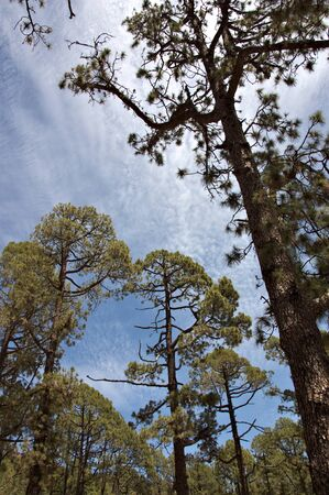 View from the ground of some very tall pines in the Forest Crown of Teide National Park