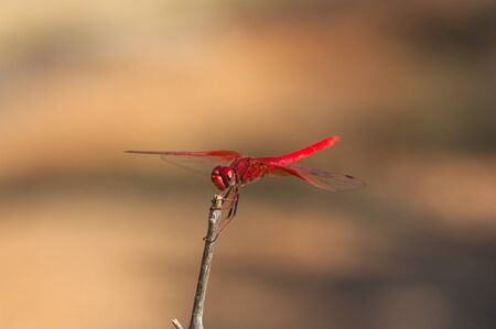 Image of a red arrow dragonfly (Sympetrum striolatum) of red color that is perched on a dry branch. The background that is out of focus is earthy