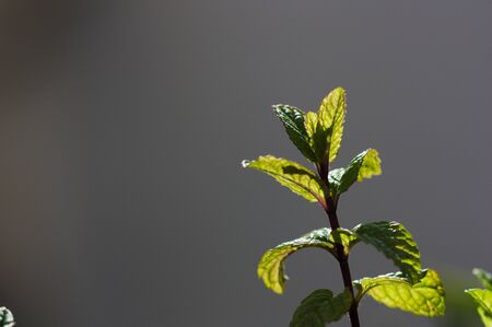 Close-up of a small branch of peppermint that is sunbathing from behind highlighting its young leaves with respect to the background completely blurred and in gray tones (copy space) Stok Fotoğraf