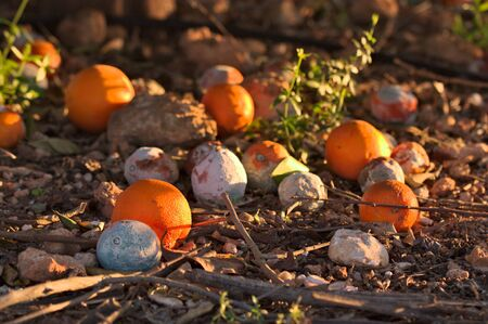 Some oranges fallen under the orangery, some are rotten others retain their orange color, when they are sunning laterally from sunset