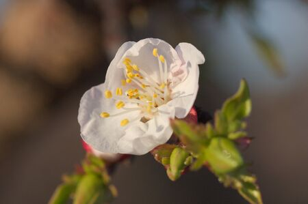 Macro photography of an apricot tree flower in late winter on a branch with some buds and with the background blurred Stok Fotoğraf