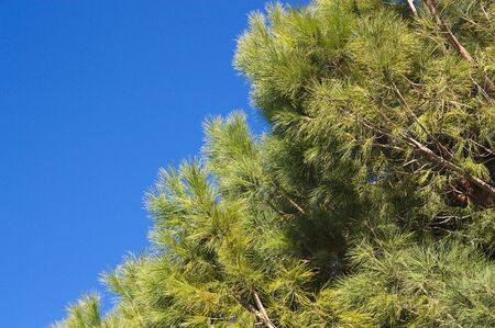 Horizontal image of the highest branches of a pine tree, in which its leaves contrast with the blue sky and leave room to add texts or graphics. Stok Fotoğraf