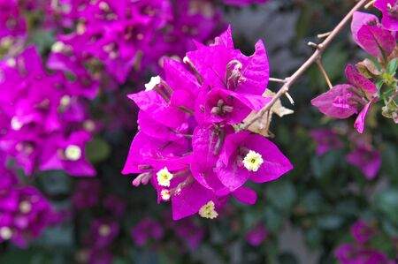 Detail of a vine branch known as bougainvillea with hermaphrodite flowers of violet color