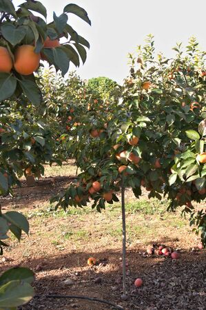 Image of some persimmon trees laden with fruits that need support to avoid breaking the branches due to the excess weight of the harvest