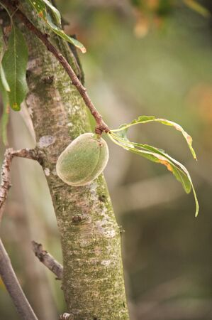 Close-up of a branch of an almond tree in which we see one of the almonds and some leaves