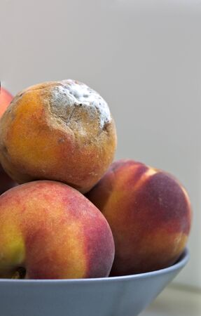 Some peaches stacked in a bowl among which there is one that is rotten on a neutral background and space for texts