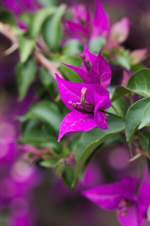 Closeup of some purple flowers of the bougainvillea plant with the leaves of the plant itself in the blurred background Stock fotó
