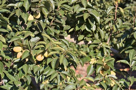 Image of the branches of part of a persimmon tree with unripe fruits Stok Fotoğraf