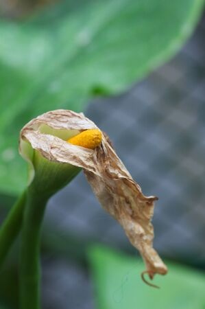 Close-up of a Calla lily flower (Zantedeschia aethiopica) that is withered after the time of flowering Stok Fotoğraf