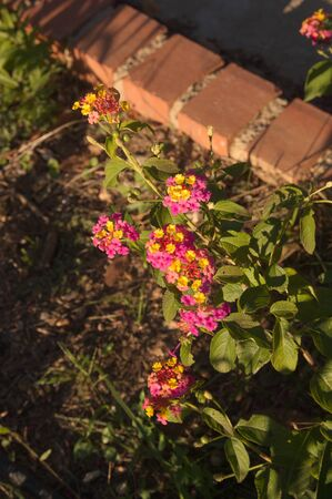 Close-up of an orange and fuchsia colored lantana camara type plant in a poorly kept garden
