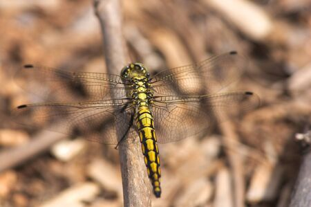Close-up of an insect of the type Trithemis aurora, the crimson marsh glider with blurred background. Yellow dragon-fly