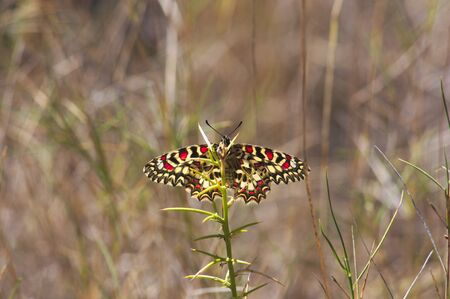 Close-up of a specimen of Zerynthia rumina, a butterfly known as Spanish festoon, while resting in the sun in some wild grasses Banque d'images