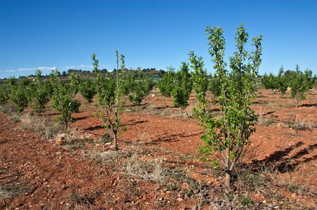 General view of a young persimmon tree plantation on a blue sky day in spring Banco de Imagens