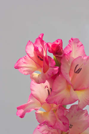 Flowers of a long terminal spike of a pink gladiolus with a neutral wall in the background Reklamní fotografie