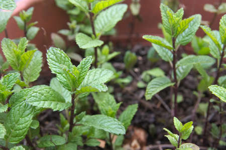 Closeup of some of the stems of a peppermint (Mentha spicata) plant planted in a pot