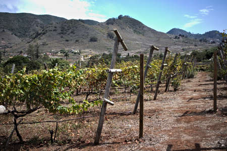 Part of a planted field of vines after harvest in late summer in a Tenerife valley in the Canary Islands, Spain 写真素材