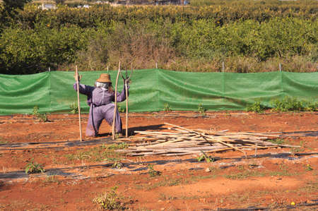 A scarecrow in a farm field to prevent birds from eating the crop