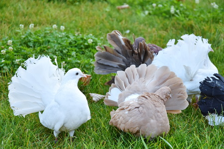 DOVE,white pigeons in grass Stock Photo