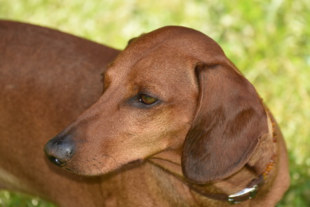 Dog Dachshund, Teckel Stock Photo