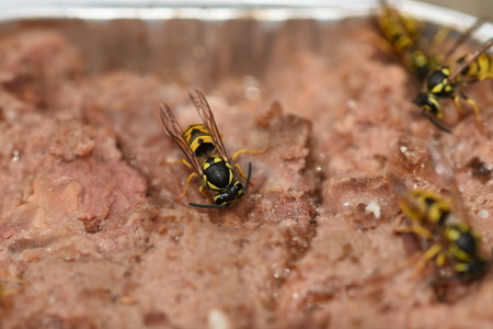 wasps on cat food