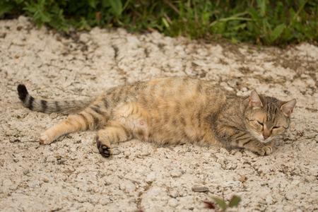beautiful striped cat,pregnant cat Imagens
