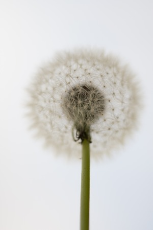 Dandelion clock in nature