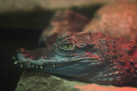 Crocodile In Captivity,