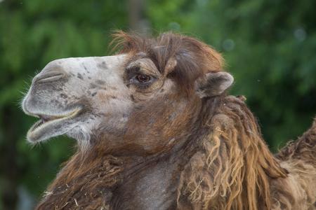 Brown camel at ZOO Stock Photo