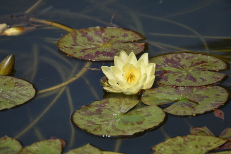 Beautiful lotus ,Nufar,Red waterlily. Water flower.