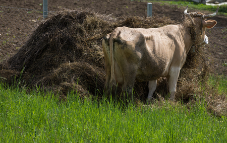 cow on green grass and hay