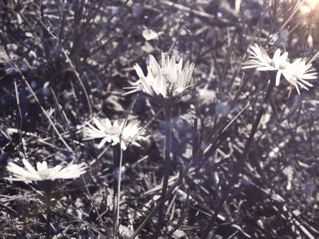 black and white daisies in the meadow with special light, for background or decoration
