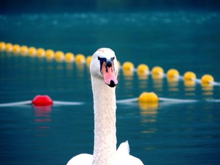 Swan Lake Stock Photo - 9147212