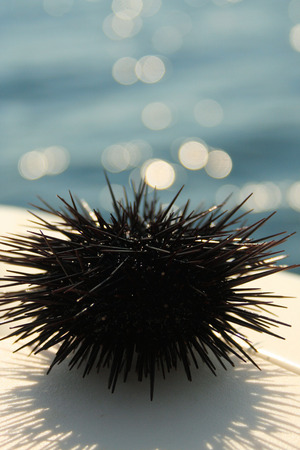 sealive: sea urchin