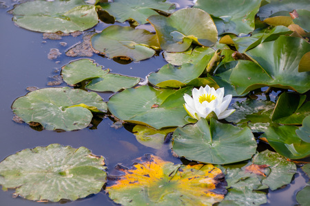 waterlily in a pond of tete d'or park of Lyon Archivio Fotografico