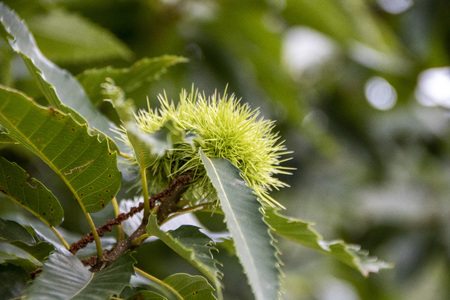 isolated chestnut growing on a  tree in a field Archivio Fotografico