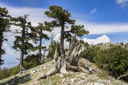 So called Garden of Gods in Pollino National park, where  the Bosnian pine, or Pinus Leucodermis lives, Basilicata , Italy Standard-Bild