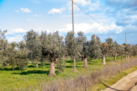 olive trees in tuscan countryside in Maremma, Grosseto province, Italy Stock Photo