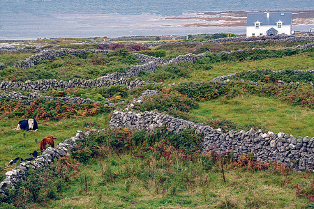 stone walls and cows in the landscape of Inishmore, one of th Aran island, Ireland