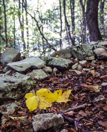 Yellow fallen leaf on the background of beech woods of Abruzzo national park in autumn, Italy