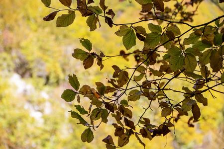 autumnal foliage in the beech woods of Abruzzo national park in Italy